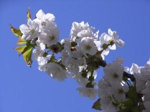 Der Kirschbaum in Nachbars Garten