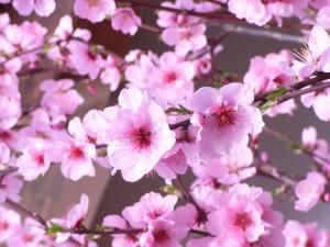 So blühen die Mandelbäume bei uns